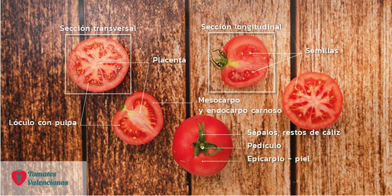 Morfología del tomate partes del tomate valenciano